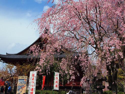 清水観音堂としだれ桜