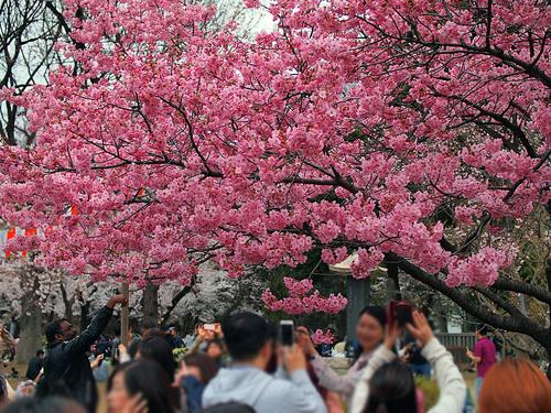 桜と見物客