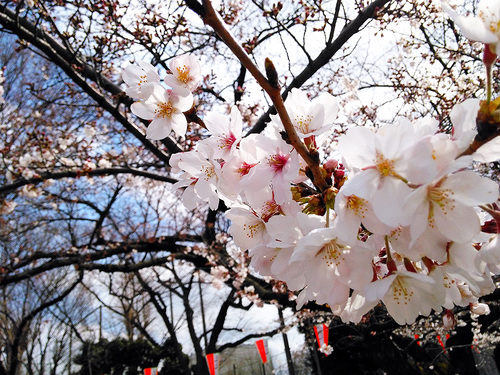 2016年3月27日の上野公園1