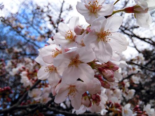 2016年3月27日の上野公園3