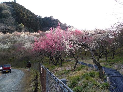 木下沢梅林・高尾山周遊