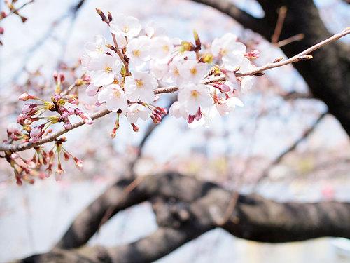 2017年4月2日不忍池の開花状況2