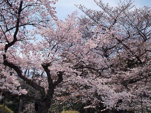 2017年4月2日上野動物園入り口付近の開花状況