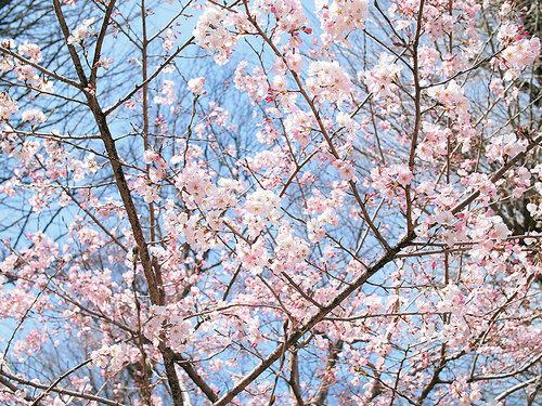2017年4月2日上野公園交番付近の開花状況