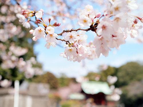 2017年4月2日寛永寺外の開花状況