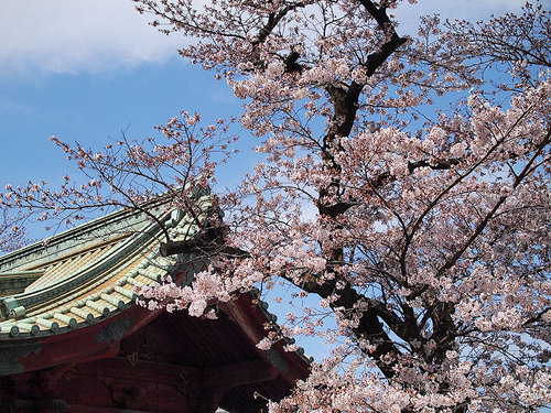 2017年4月2日寛永寺の開花状況