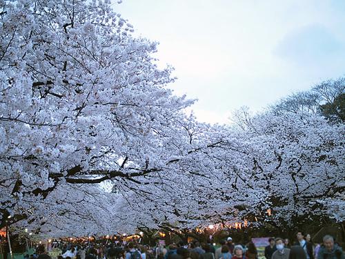 上野公園桜満開1
