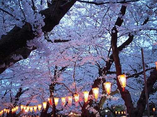上野公園桜満開2