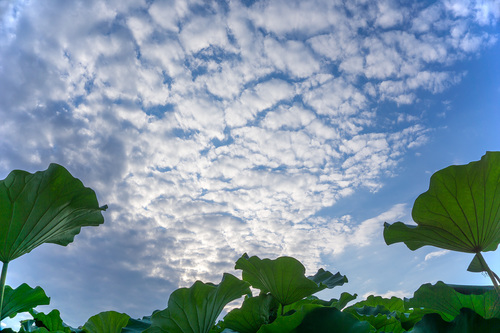 不忍池の蓮と雲RAW現像