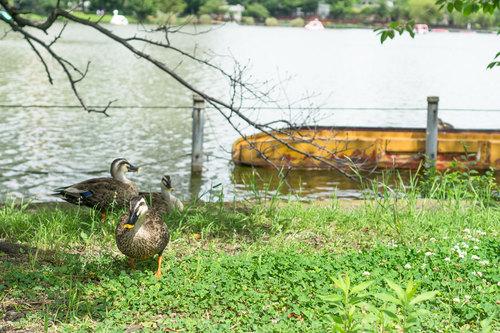 ボート池と鴨