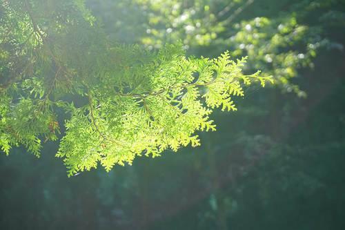 朝陽に照らされる杉