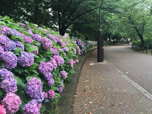 2019年6月28日上野公園のアジサイ