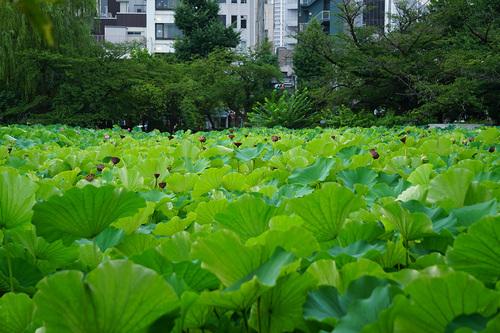 8月12日の不忍池の蓮の様子(ほとんど散っている)