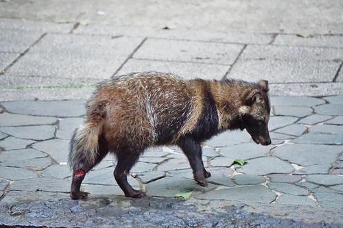 足を怪我した上野公園のタヌキ