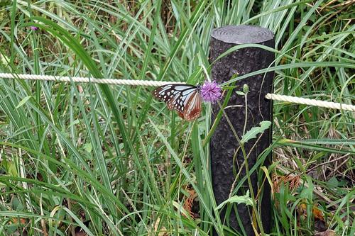 山道の蝶!