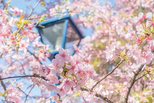 2020.2.23 上野公園の桜