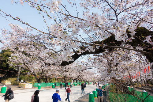 上野公園2020年3月22日の桜 その1