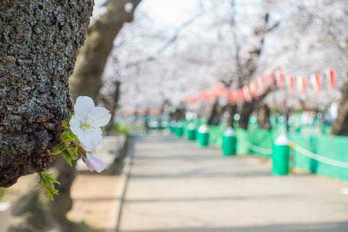 上野公園2020年3月22日の桜 その2