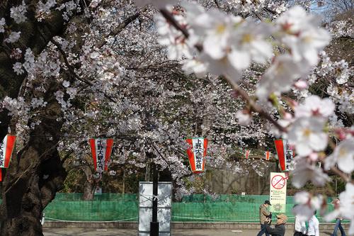 上野公園2020年3月22日の桜 その3