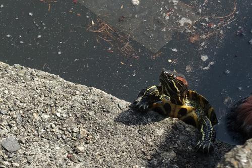 上野公園不忍池2020年3月22日の亀さん