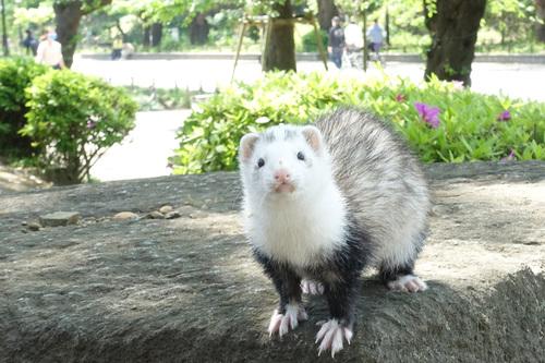 上野公園に出没したフエレット