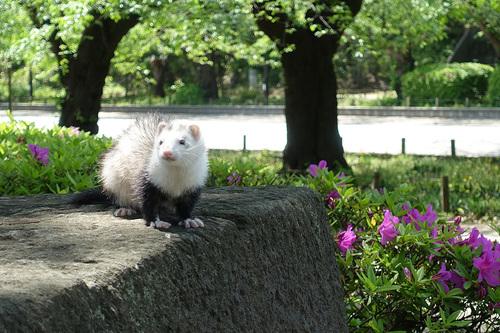 上野公園交番前に出没したフェレット