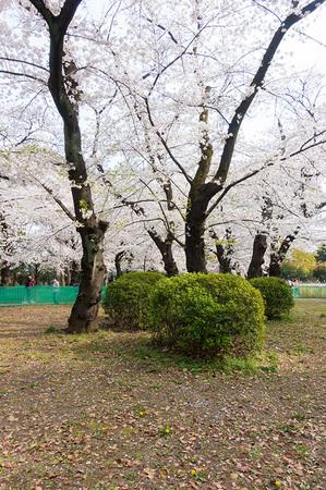 2021年3月27日上野公園の桜