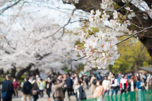 2021年3月27日上野公園の桜_01