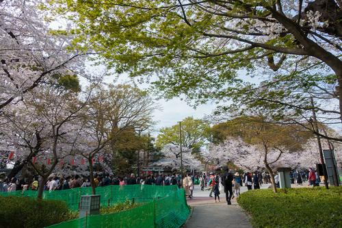 2021年3月27日上野公園の桜_02