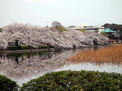 上野公園不忍池の桜