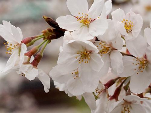 上野公園 満開の桜