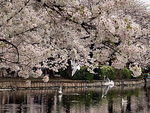 桜とゆりかもめ