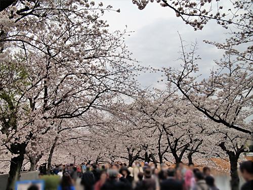 不忍池 桜のトンネル