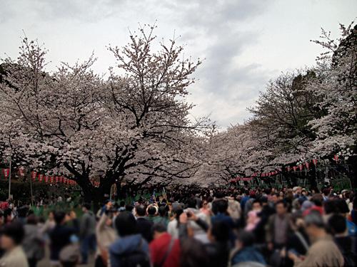 上野公園 満開の桜トンネル