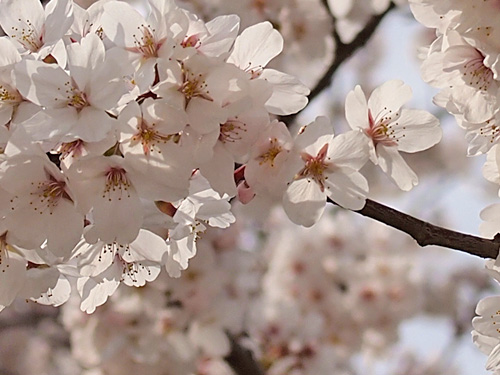 陽射しを浴びる桜の花びら