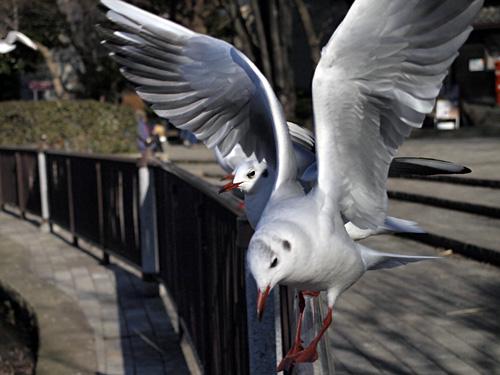 不忍池の鳥2