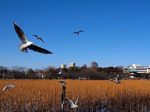 不忍池に舞う鳥
