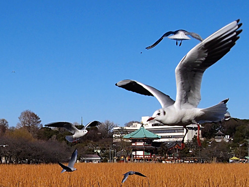 不忍池に舞う鳥2