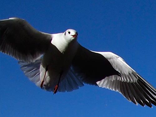不忍池に舞う鳥のアップ